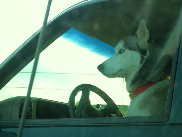Dog driving keyword